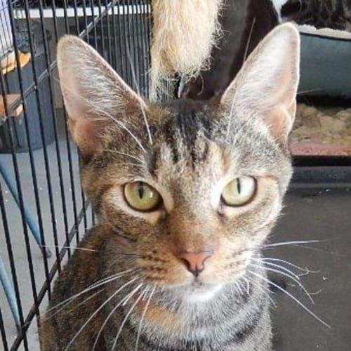 Ally - Domestic Short Hair Cat