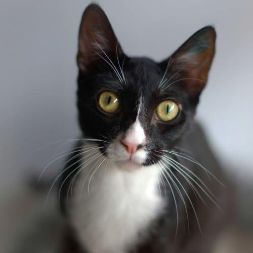 Daxter & Houdini - Domestic Short Hair Cat