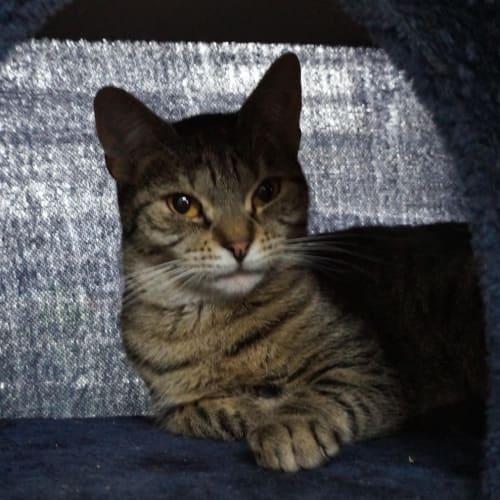 Amarosa - Domestic Short Hair Cat