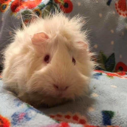 Amenadial - Abyssinian Guinea Pig