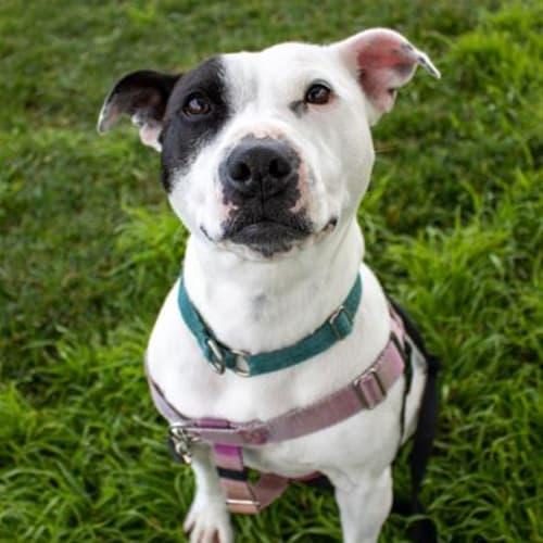 Angelena - Staffordshire Bull Terrier Dog