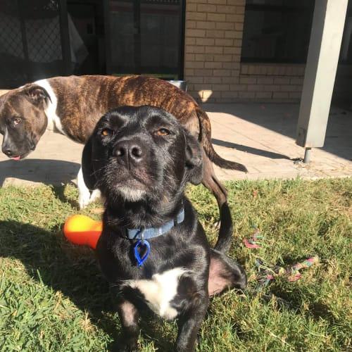 Arlo ~ 3 year old Terrier X Dachshund - Dachshund x Terrier x Terrier Dog