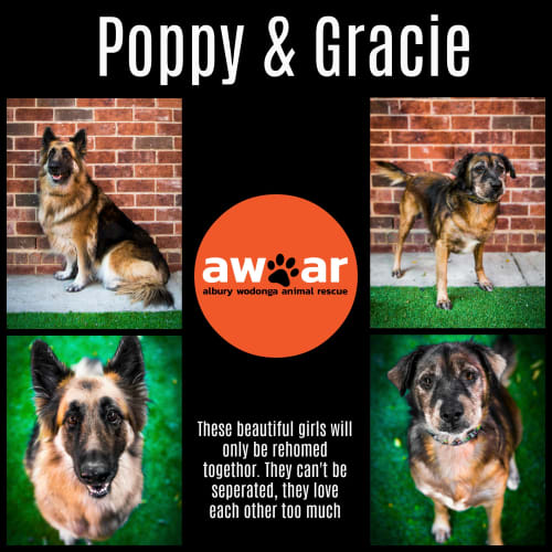 Gracie and Poppy - German Shepherd Dog