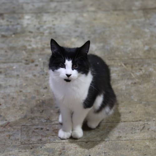 Sweet Albert (Located in Highett) - Domestic Medium Hair Cat