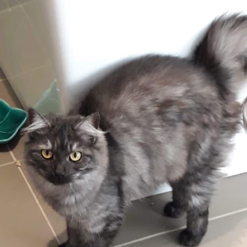 Disco - Meet me @Vets in Endeavour Hills  - Domestic Medium Hair Cat