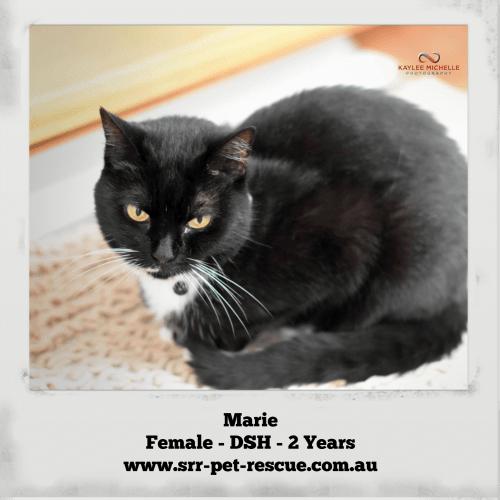 Marie - Domestic Short Hair Cat