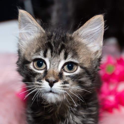 Pluto - Domestic Medium Hair Cat