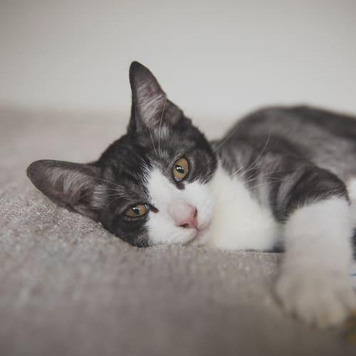 Lennon - Domestic Short Hair x Oriental Cat