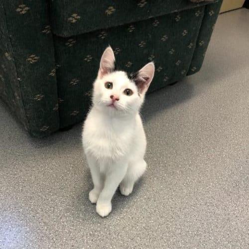 Ramon - Domestic Short Hair Cat