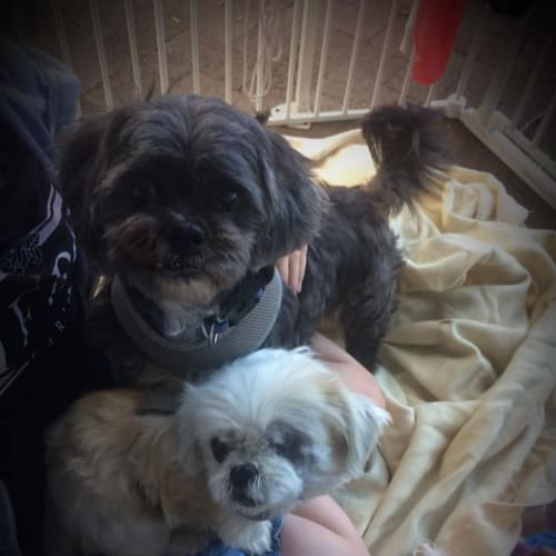 Billie & Leo - Maltese x Shih Tzu Dog