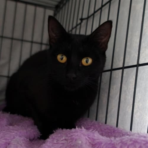 Olympia - Domestic Short Hair Cat