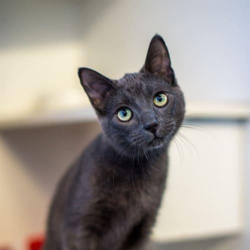 Ellis - Domestic Short Hair Cat