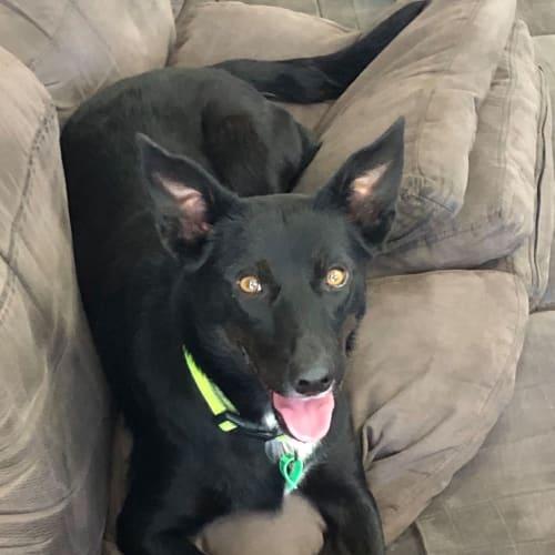 Bella - Kelpie Dog