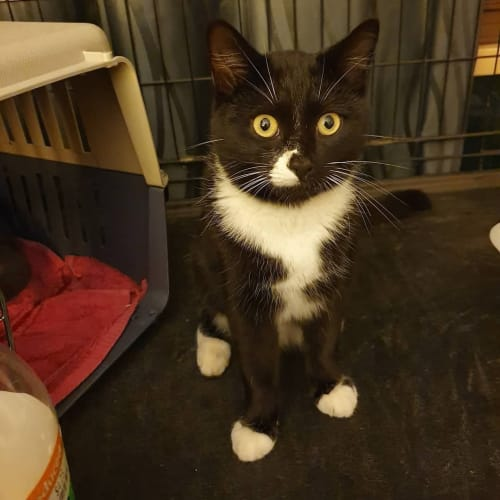 Devora (Located in St Kilda East) - Domestic Short Hair Cat