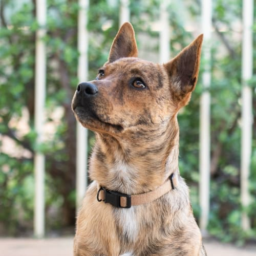 Flo DL2103 - Jack Russell Terrier x Staffy Dog