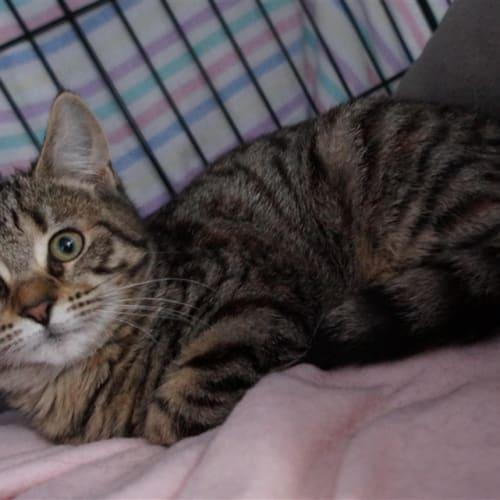 Mia - Domestic Short Hair Cat