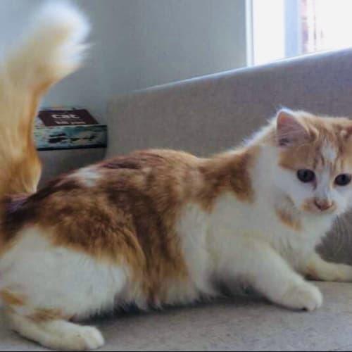Munchkin - Munchkin x Ragdoll Cat