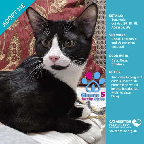 Tux - Domestic Short Hair Cat