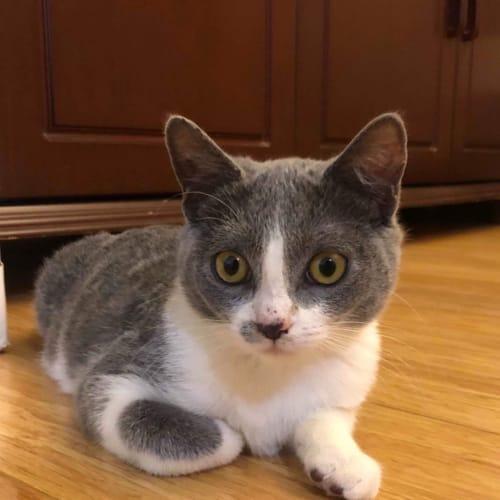 Gabi  - Domestic Short Hair Cat