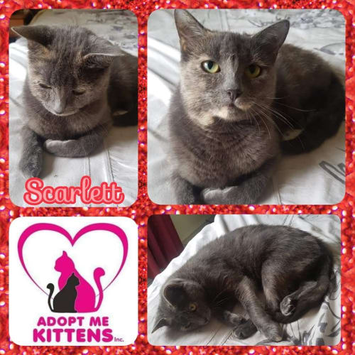 Scarlett - Domestic Short Hair Cat