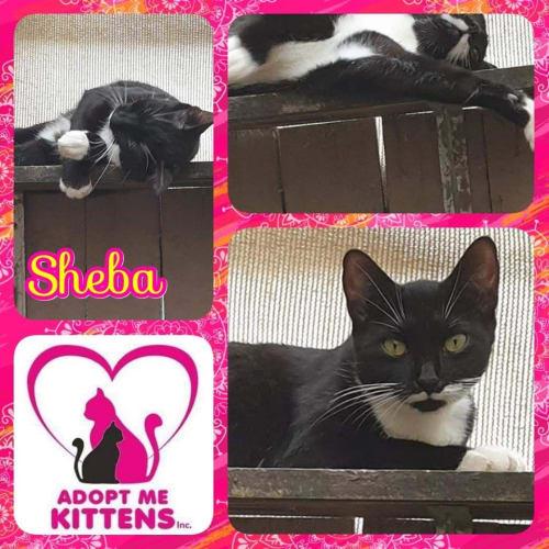 Sheba - Domestic Short Hair Cat