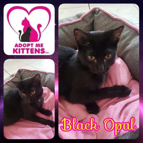 Black Opal - Domestic Medium Hair Cat