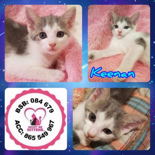 Keenan - Domestic Short Hair Cat