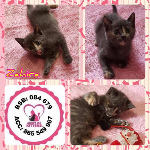 Zahira - Domestic Short Hair Cat