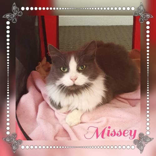 Missey - Domestic Medium Hair Cat