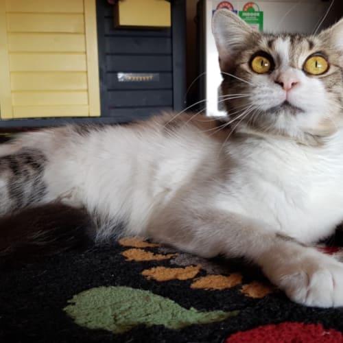 Ruby - Domestic Medium Hair Cat