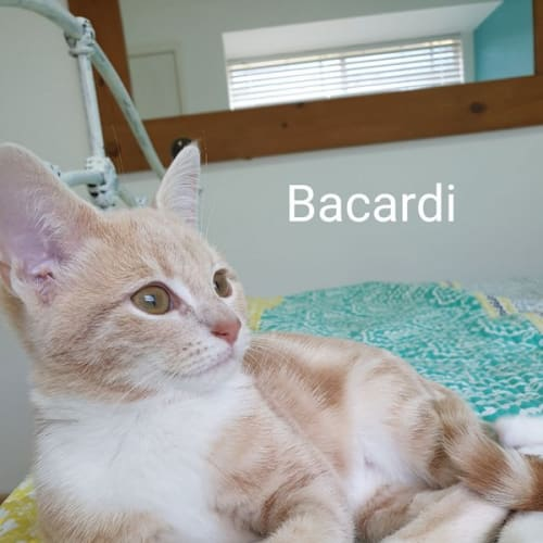 Bacardi - Domestic Short Hair Cat
