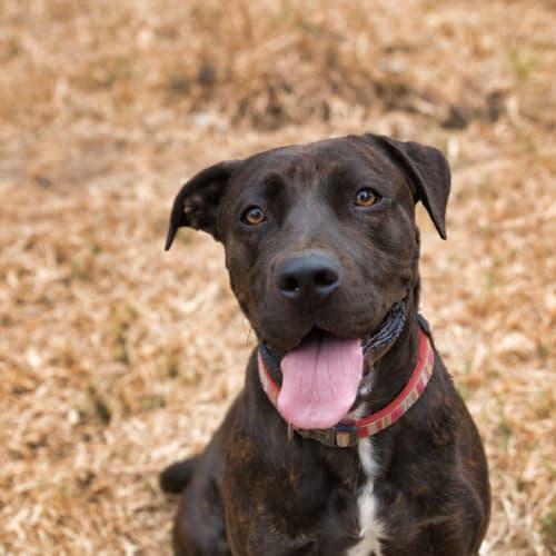 Shelby - The best natured lovebug - Labrador x Staffy Dog