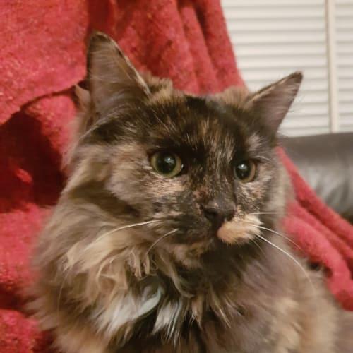 Sansa - Domestic Long Hair Cat