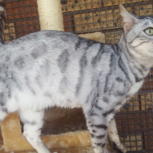 Priscilla - Bengal Cat