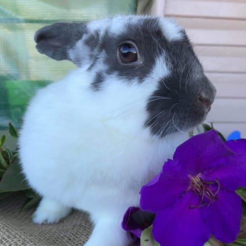 Cookie 🍪 - Domestic Rabbit