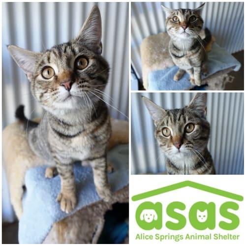 Lorel  CT19-161 - Domestic Short Hair Cat