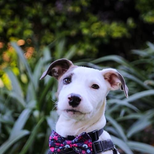 Meena - Bull Arab x Wolfhound Dog