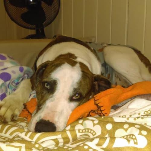 Toby - Bull Arab Dog