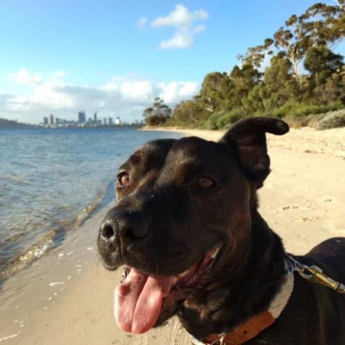 Coco DL1841 - American Staffordshire Terrier Dog