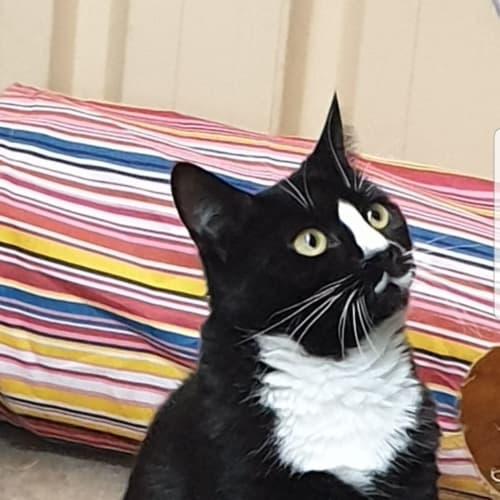 Lady Di - Domestic Short Hair Cat