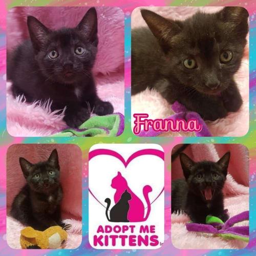 Franna - Domestic Short Hair Cat