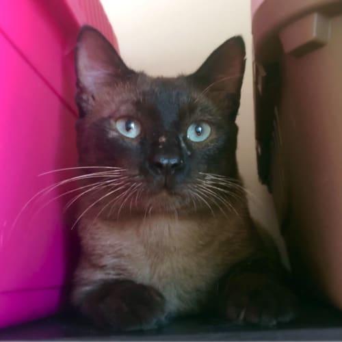 Laurent - Burmese Cat