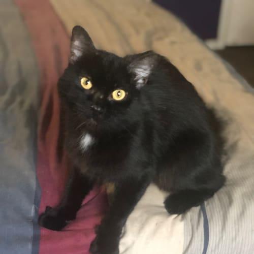 Zeid - Domestic Medium Hair Cat