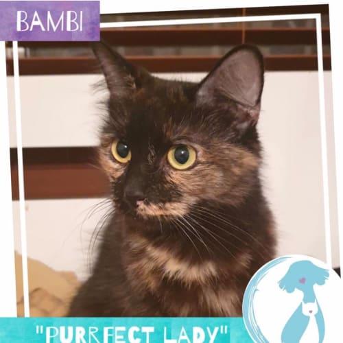 Bambi  - Domestic Medium Hair Cat