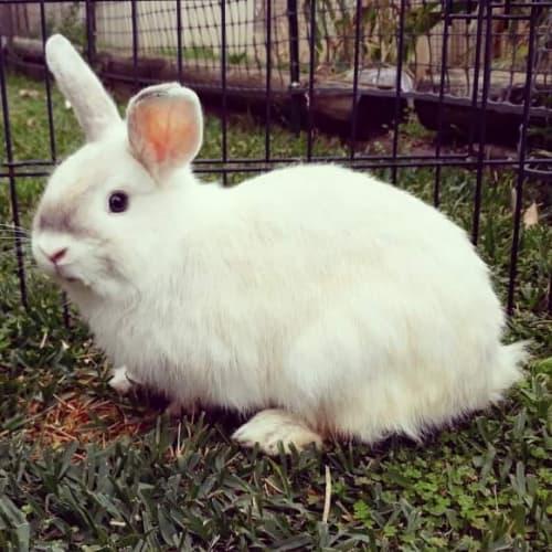 Pedro 🐇 - Dwarf Rabbit