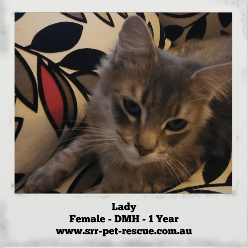 Lady - Domestic Medium Hair Cat