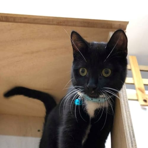 Fozzi (Located in Rowville) - Domestic Short Hair Cat