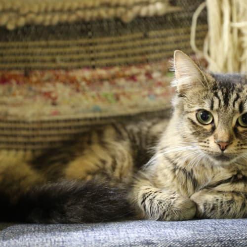 Martha (Located in Highett) - Domestic Medium Hair Cat