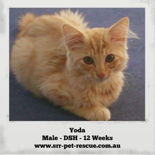 Yoda - Domestic Short Hair Cat