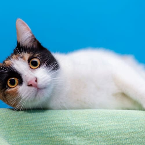Renate **2nd Chance Cat Rescue** - Domestic Short Hair Cat